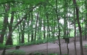 Backyard Black Bears