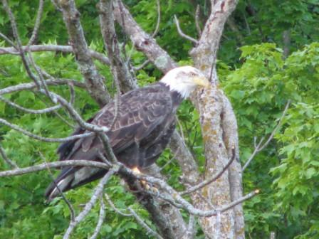 A young bald eagle seen during fishing on the St. Croix river during opening of 2008 Olympic games