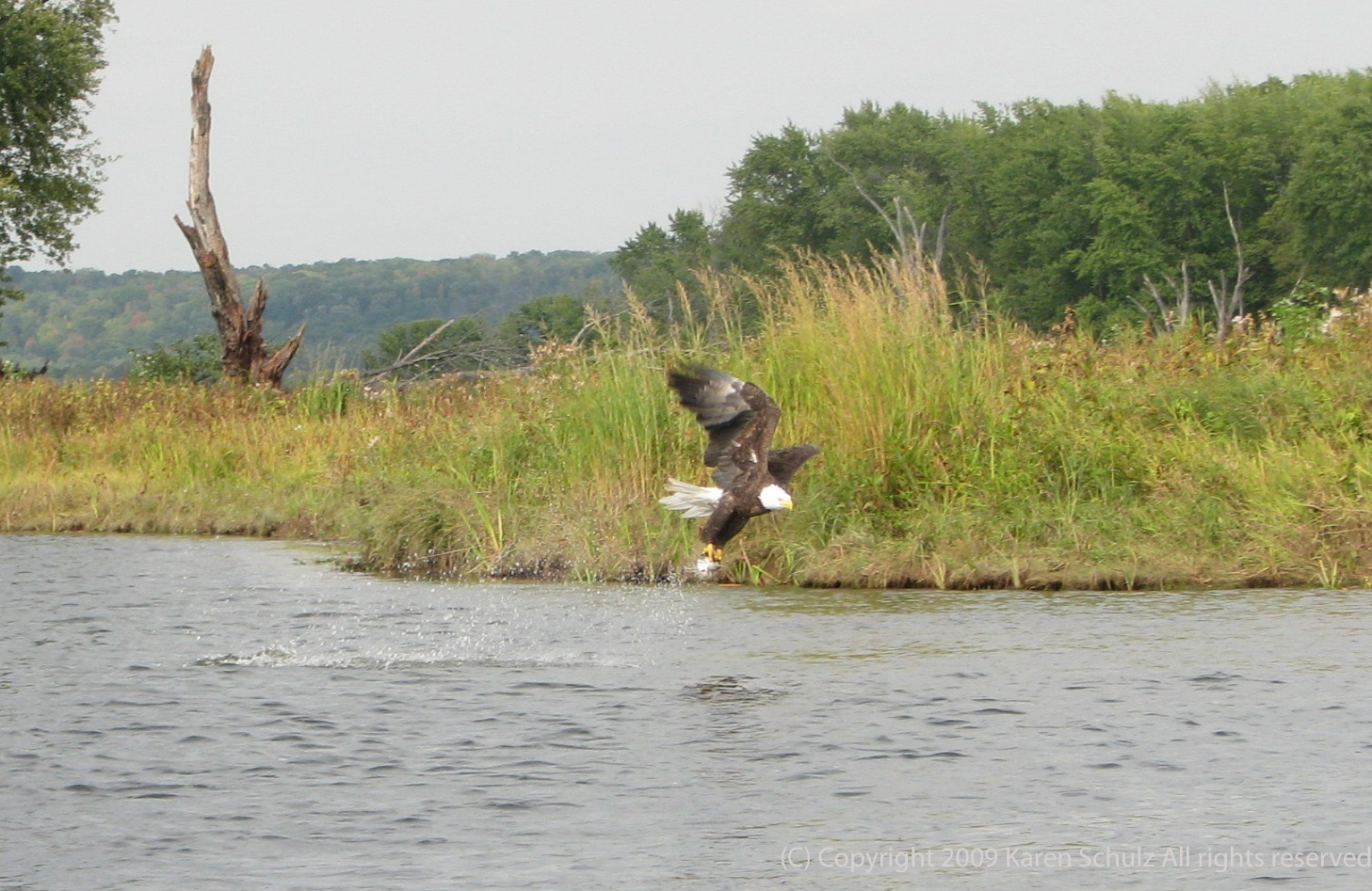 A North American Bald Eagle fishing (and catching) on the St. Croix River near Stillwater MN - via www.karenofarcola.com
